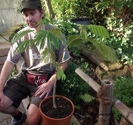 Die seidenakazie ist eine zimmerpflanze die es