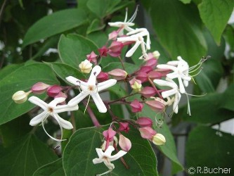 Schade Dass Man Den Japanischen Losbaum Nur So Selten Zu Kaufen Bekommt Er Gehort Schonsten Blumenbaumen Und Findet Ihn In