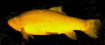 fressen goldfische andere fische