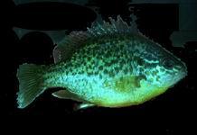 Fische f r den gartenteich for Jungfische im teich