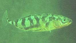 Fische f r den gartenteich for Was fressen teichfische