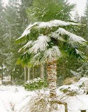 winterharte palmen exoten und edelsteine. Black Bedroom Furniture Sets. Home Design Ideas